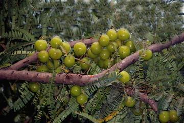 Bunch of Amla Berries