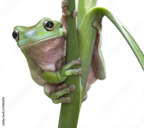 Foto op Canvas Kikker Australian Green Tree Frog