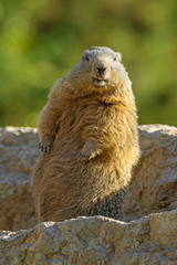 marmot on a stone