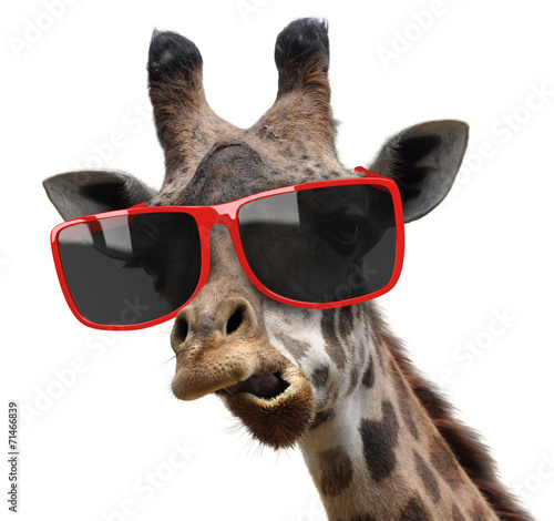 Funny fashion portrait of a giraffe with hipster sunglasses