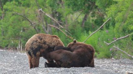 Bears fighting