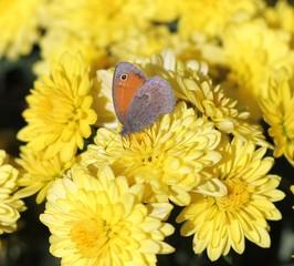 Бабочка бархатница на хризантемах