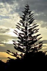 Tannen oder Weihnachtsbaum ?