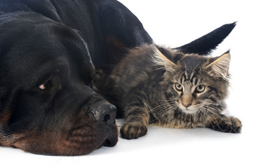 maine coon kitten and rottweiler