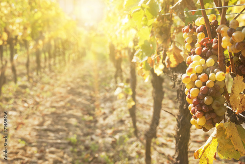 canvas print picture Noble rot of a wine grape, botrytised grapes