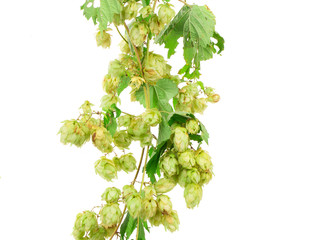 Branch of hop.