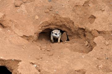 Meerkat in nest
