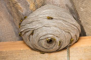 Wasp's nest closeup