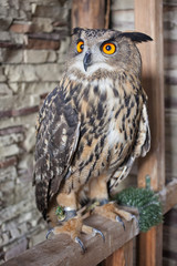Beautiful captive owl