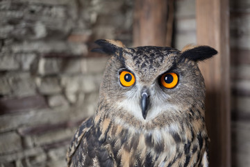 A beautiful captive owl