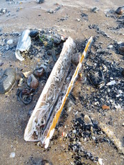 Razor clam on beach
