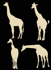 four giraffe silhouettes isolated on black