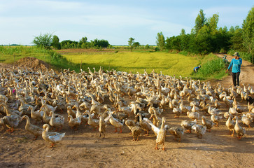 Asian farmer, flock of duck, Vietnamese village
