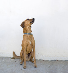 Brown dog against plain wall. Mongrel, sitting, outdoors.