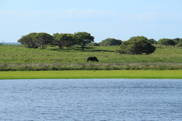 Rhinoceros walking in the savannah, at St Lucia Wetlands Park