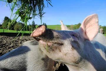 Hausschwein in der Freilandhaltung