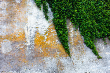 Old concrete wall with the green ivy