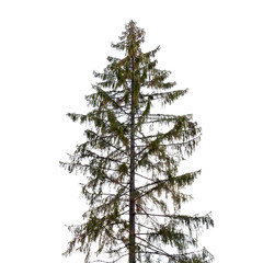 Tall spruce tree isolated on white background