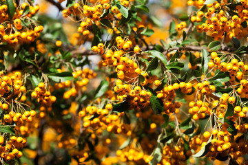 yellow rowan