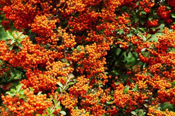 orange rowan