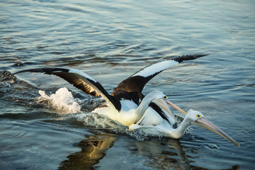 Pelican attacking another Pelican