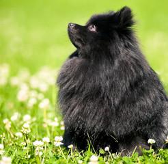 Black shpitz on green grass in summer park