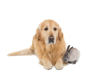 Cute fluffy grey bunny rabbit with golden retriever