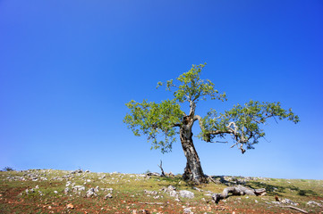 lonely tree against blue sky