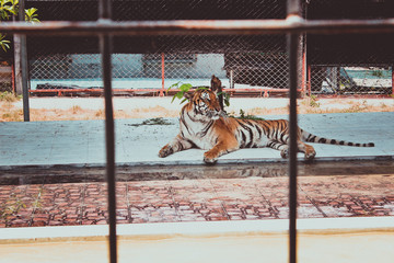 Tiger in a cage at the zoo