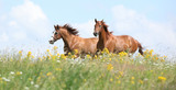 Two chestnut horses running together - 71484450