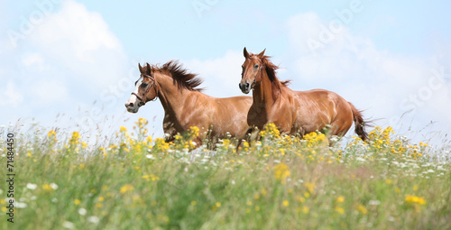 Foto op Canvas Paarden Two chestnut horses running together
