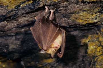 rinolofo maggiore pipistrello mammifero notturno in grotta c