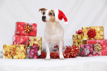 Christmas Jack Russell terrier with gifts