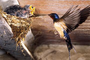 rondine con piccoli rondinini nel nido