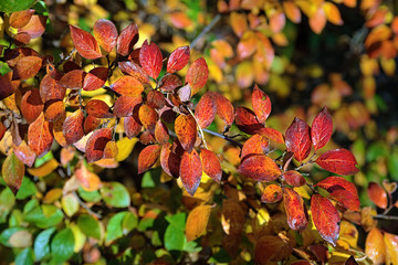 Branch of Cotoneaster lucidus with red leaves in autumn
