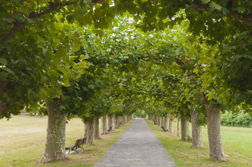 Platanus tree lined road or avenue