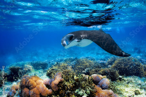 Papiers peints Recifs coralliens Manta Ray