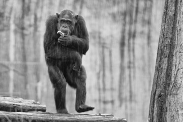 Ape chimpanzee monkey in black and white