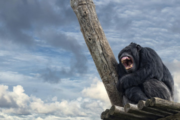 Ape chimpanzee monkey while yawning