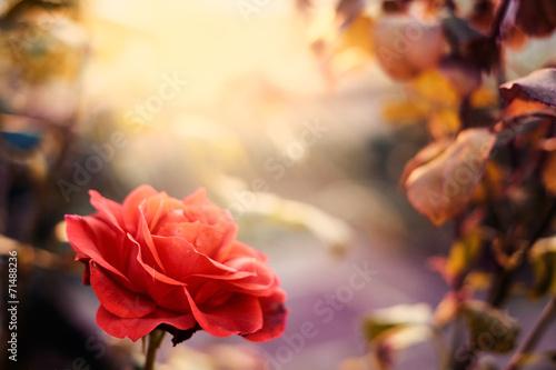 Red rose in the garden © Creaturart