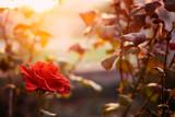 Fototapeta Red rose in the garden