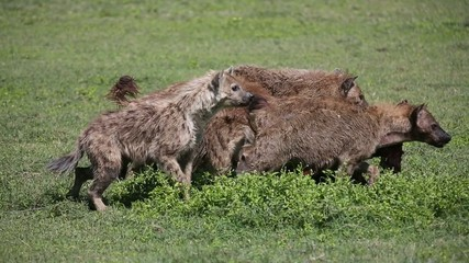 Hyena eating wildebeest