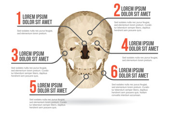 Human skull infographic, vector illustration