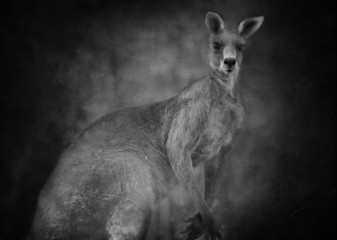 Australian kangaroo (Macropus giganteus)  in black and white