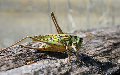 A female of a grasshopper is cleaning its antennae.