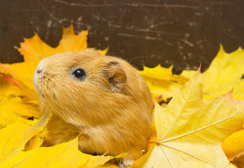 guinea pig in yellow maple leaves