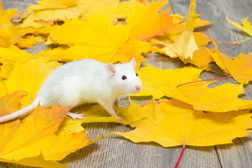 white pet rat on the wooden floor strewn with leaves