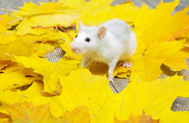 white rat with yellow maple leaves