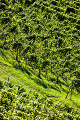 Weintrtauben am Rebstock im Weingarten