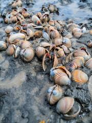 Muschelbank im Wattenmeer